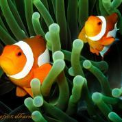 clown fish-2591.jpg