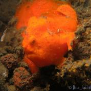 Frogfish-with-Lure.jpg